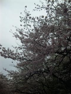 桜色の上野公園