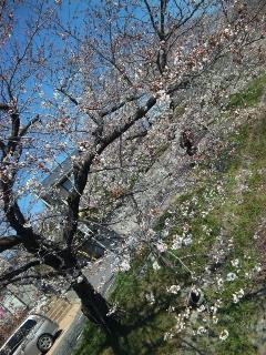 名古屋稽古〜桜の頃